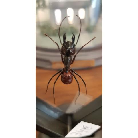 La plus grande fourmis du monde sous cadre