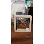 Papillon tigré sous vitre